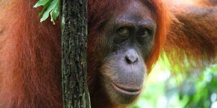 orangutan_02